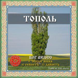 Священное Дерево - Тополь