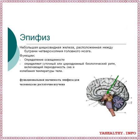 - эпифиз - шишковидная железа;