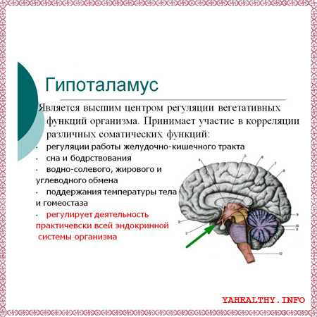 - подбугорная область головного мозга - гипоталамус.
