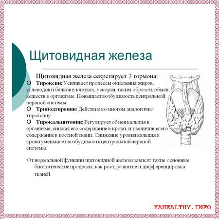 - щитовидная железа;