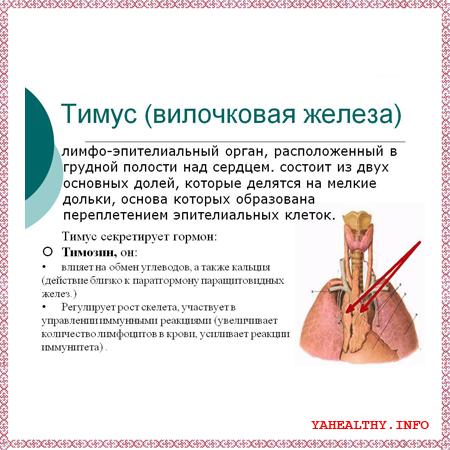 - вилочковая железа;